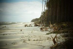 Plaża i las z powalonymi przez sztorm drzewami