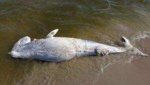 Wieloryb na brzegu morskim na Mierzei Wiślanej