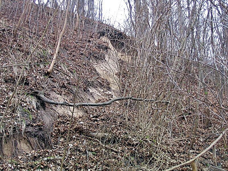 Zdjęcie uskoku powstałego na skutek oberwania się gruntu na zboczu klifu rozewskiego porośniętego młodym gęstym lasem.