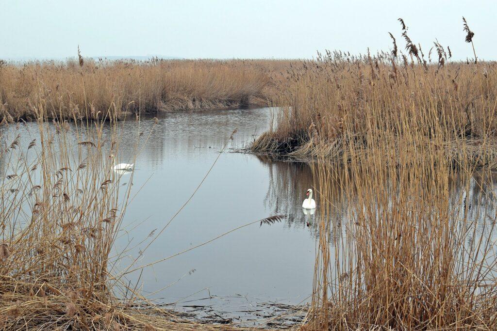 Zdjęcie przedstawiające dwa łabędzie nieme na wodzie pośród trzcin.