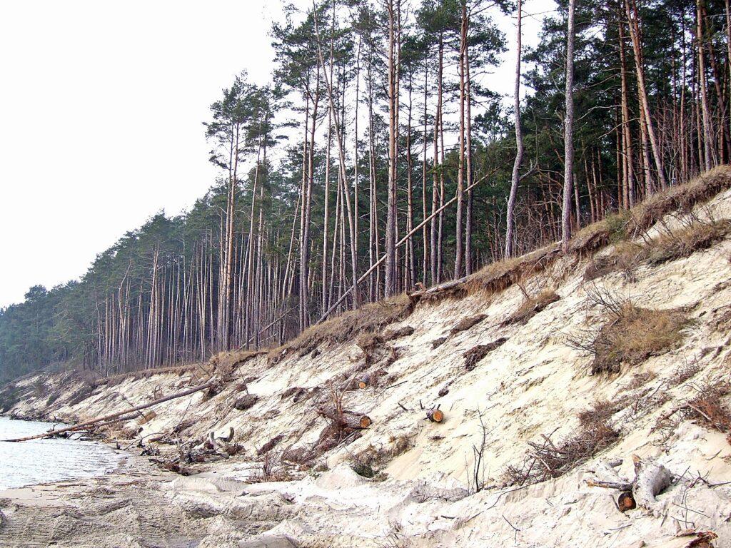 Zdjęcie odsłoniętego, piaszczystego zbocza, na którego koronie rośnie las. Widoczne drzewa, które spadły z krawędzi klifu.