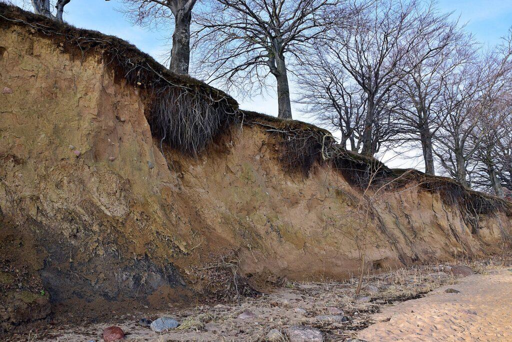 Zdjęcie zrobione z poziomu plaży ukazujące niemal pionowy, wysoki na kilka metrów klif, zbudowany z gliny, na krawędzi którego rosną stare buki. Widoczne odsłonięte bryły korzeniowe.