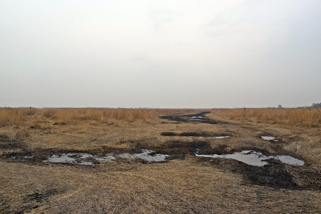 Zdjęcie trzcinowiska wykonane wczesną wiosną, po zimowym pozyskaniu trzciny. Widoczne połacie wygniecionej trzciny i błotniste zagłębienia powstałe od sprzętu do wywozu pozyskanej trzciny.